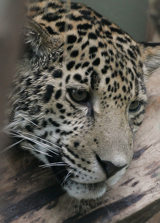 Jaguar, Mesker Park Zoo and Botanical Garden, Evansville, Indiana